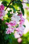 Close-up of pink flowering dog rose