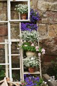 Potted flowering plants decoratively arranged on ladder leaning against garden wall