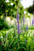 Purple flowers (Veronica spicata - spiked speedwell) in garden