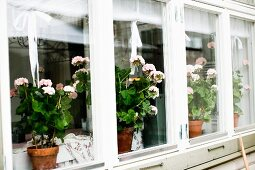 Row of windows with pink geraniums on inside windowsill