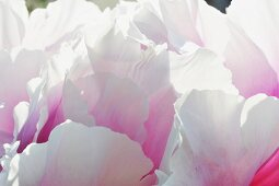 Close up of flower with pink and white petals