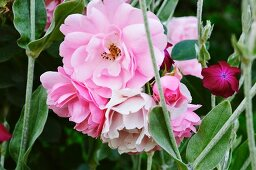 Pink roses and deep pink carnations in garden (close-up)