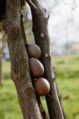 Three eggs dyed using walnut shells wedged between sticks