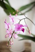 Orchid sprig with striped flowers
