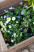 Grape hyacinths, violas and daisies in wooden crate