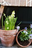 White grape hyacinths and blue violas in terracotta pots