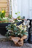 Potted hellebore loosely wrapped in brown paper on gravel floor in front of wellingtons and spring planter
