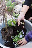 Hands of mother and child planting up an aluminium bowl with pussy willow and violas