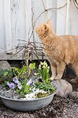 Spring arrangement planted in aluminium bowl and cat on gravel floor in front of wooden building