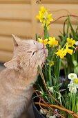Cat inspecting spring arrangement of narcissus