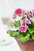 Large-flowered, pink and white German primrose in old terracotta pot