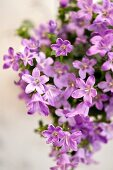 Purple campanula (close-up)