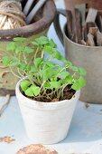 Basil seedlings in white pot in front of gardening utensils in pots