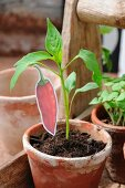 Bell pepper plant with hand-crafted label