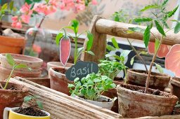 Home-grown seedlings in terracotta pots in rustic wooden trug