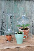 Young melon plants protected by glass cover and upturned wineglass and seedlings kept moist in ceramic mug on wooden crate