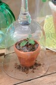 Melon seedling kept warm by cloche made from upturned wineglass on wooden surface