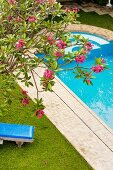 View down onto pink-flowering oleander and large pool with tiled edge in garden