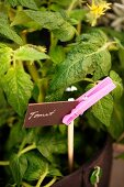 Plant label attached to stick by clothes peg in tomato planter