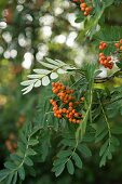 Orange berries on rowan branch