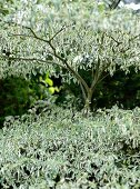 Tree with silver and green variegated leaves in garden