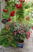 Fuchsia im Topf und dunkelrote Rosen im Beet mit Steineinfassung