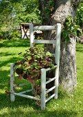 Grünpflanze (Pelargonium australe) auf ehemaligem Küchenstuhl vor Baum in sommerlichem Garten