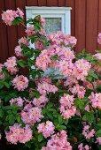 Rosa blühende Azaleen vor rotbraun gestrichene Holzfassade