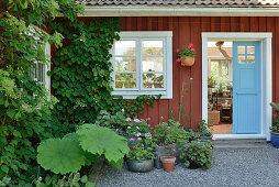 Blumentöpfe auf gekiester Fläche vor rotbraunem Holzhaus mit Kletterhortensie