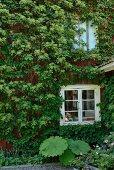 Mit Kletterhortensie berankte Hausfassade, weiss getrichene Fenster