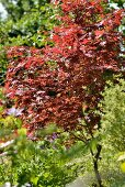 Japanischer roter Ahorn in sommerlichem Garten