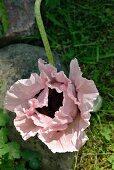 Rosa blühende Mohnblume