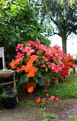 Potted begonias in various shades of red in summery garden