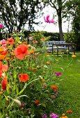 Mohnblumen und Cosmea in sommerlichem Garten