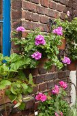 Purple geraniums in terracotta pots hung on old brick wall and strawberries on windowsill