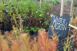 Dicht gestellte Pflanztöpfe mit Tafelschild 'Winterastern' in Gärtnerei