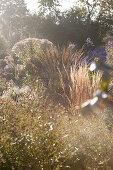 Herbstimpression mit Gräsern und Astern in ländlicher Gärtnerei