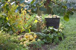 Frisch geerntete Äpfel am Baumstamm und im Eimer in herbstlicher Stimmung