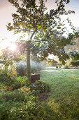 Apfelbaum und geerntete Früchte im herbstlichen Garten mit Sonnenlicht