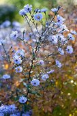 Lilafarbener Winterasternzweig in Herbstsonne