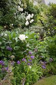 Flowering corydalis. white peonies and rose bush in garden