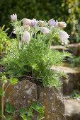 Pulsatilla in garden