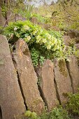 Hellebores growing on top of retaining wall made from upright stones in garden