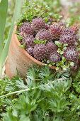 Succulents in terracotta plant pot in flowerbed