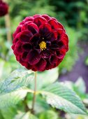 Deep red dahlia in garden