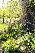 Flowering tulips in sunny garden