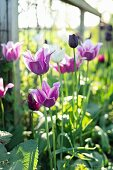 Purple tulips in sunny garden