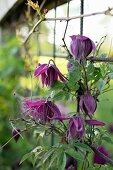 Purple-flowering clematis on trellising