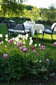 White and purple tulips in front of set table, bench and chairs in garden