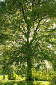 Old beech tree in summery garden
